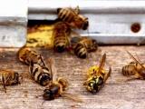 В Минсельхозе Чувашии отрицают прошлогоднюю гибель пчел из-за пестицидов