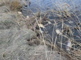 В Батырево произошла массовая гибель рыбы